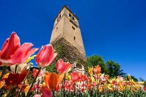 Photo of spring tulips growinging in front of the carillon on campus